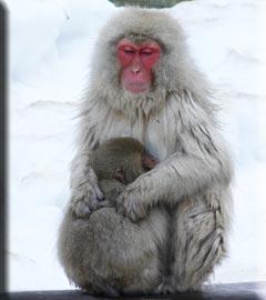 温泉猿の親子サル